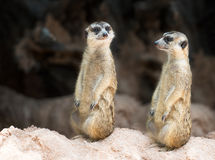 Couple meerkat Royalty Free Stock Image