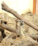 Couple of meerkat in zoo royalty free stock photography