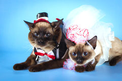 Couple of mekong bobtail cats in wedding costumes Stock Image