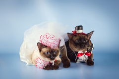 Couple of mekong bobtail cats in wedding costumes Royalty Free Stock Images