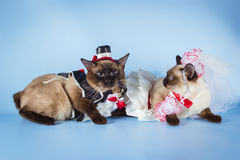 Couple of mekong bobtail cats in wedding costumes Stock Images