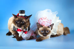 Couple of mekong bobtail cats in wedding costumes Stock Photo