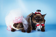 Couple of mekong bobtail cats in wedding costumes Stock Photography