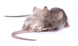 Couple of mice. Two fancy mice in love Stock Photo