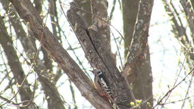 Couple of Middle spotted woodpeckers performing nesting games in early spring stock footage