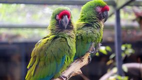 Couple Of Military Macaw. Couple Of Beautiful Military Macaw Ara Militaris Parrots Perched On A Tree Branch stock video
