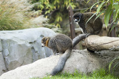 A couple of Mongoose lemurs. Two lemurs sit on rocks in a park in Turin, Italy royalty free stock images