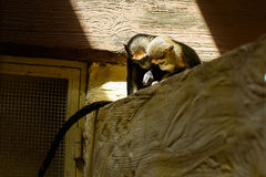 Couple monkey animals Royalty Free Stock Images