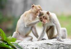 Couple monkey Royalty Free Stock Photos