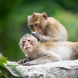 Couple monkey Stock Photography