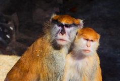 Couple monkey Royalty Free Stock Image