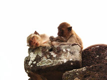 A couple of monkey. A monkey grooming another monkey on the rock in cambodia Stock Photo