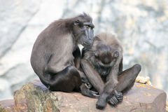 Couple monkey. This monkey couple is in love stock image