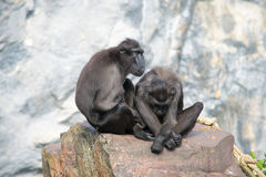 Couple monkey. This monkey couple is in love royalty free stock photos
