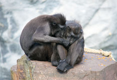 Couple monkey. This monkey couple is in love stock photography