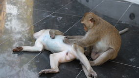 Couple monkey relaxing stock footage