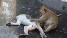 Couple monkey relaxing stock footage