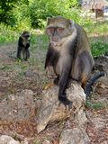 Couple of monkeys Royalty Free Stock Photos