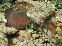 Couple of moray eel. A couple of moray eel, one with yellow eyes and the other with blue eyes Royalty Free Stock Photography