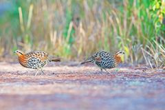 Couple of Mountain Bamboo Partridge Stock Image