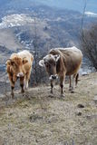 Couple of  mountains bulls. On the slope Stock Photography
