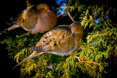 Couple of mourning doves Royalty Free Stock Photos