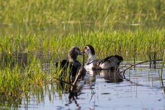 A couple of Muscovy duck Royalty Free Stock Photo