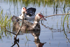 A couple of Muscovy duck Stock Photos