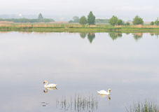 Couple of mute swans Stock Photography