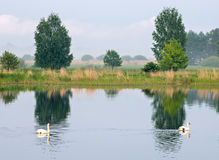 Couple of mute swans Stock Image