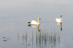 Couple of mute swans Royalty Free Stock Images