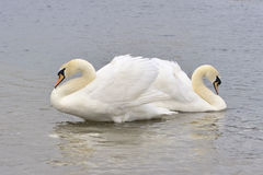 Couple of Mute Swans Royalty Free Stock Photos