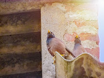 Couple of  Myna birds in the evening. Royalty Free Stock Image