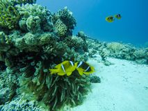 Couple of Nemo Fish near their Anemone and Red Sea Coral Reef in royalty free stock photo