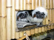 Couple of nice little curious tamarin monkeys looking out from their bamboo house in the zoo stock photography