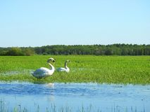 Beautiful swan  birds in flood field, Lithuania Royalty Free Stock Photos