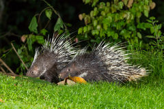 Couple of nocturnal animals Malayan porcupine. (Hystrix brachyura) come out from the dark to find some food in nature at Kaengkrajarn national park,Thailand Stock Photo