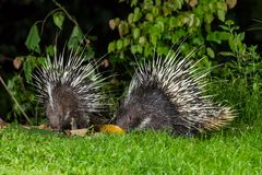 Couple of nocturnal animals Malayan porcupine. (Hystrix brachyura)  find some food in nature at Kaengkrajarn national park,Thailand Stock Image