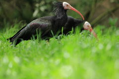 Couple of northern bald ibises Royalty Free Stock Images