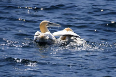 Couple of northern gannet. A couple of northern gannets near the seven island archipelago and the marine bird reservation royalty free stock image
