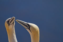 Couple of Northern gannets Stock Photo