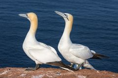 Couple of Northern gannets in breeding colony at Helgoland island royalty free stock photos