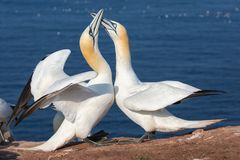 Couple of Northern gannets in breeding colony at island Helgoland. Couple of Northern gannets greeting each other in breeding colony at Helgoland island, Germany royalty free stock image