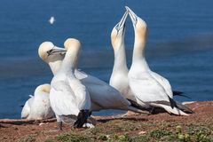Couple of Northern gannets in breeding colony at island Helgoland. Two couples of Northern gannets greeting each other in breeding colony at Helgoland island stock photography
