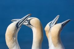 Couple of Northern gannets in breeding colony at island Helgoland. Two couples of Northern gannets greeting each other in breeding colony at Helgoland island stock photo