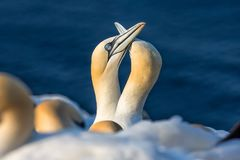 Couple of Northern gannets in breeding colony at island Helgoland. Couple of Northern gannets greeting each other in breeding colony at Helgoland island, Germany stock photography