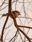 A couple of Northern White-crowned Shrike Royalty Free Stock Photography