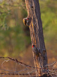 A couple of Nubian Woodpeckers Royalty Free Stock Photo