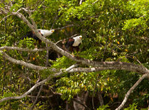 Couple o African Fish Eagles. A couple of African Fish Eagles (Haliaeetus vocifer) greet one another in the crown of a tree at Shimba Hills nature reserve, Kenya royalty free stock photos