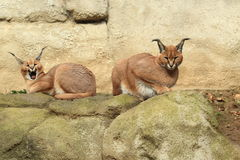 Couple Of Caracals Royalty Free Stock Images